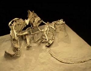 Protoceratops and Velociraptor locked in combat